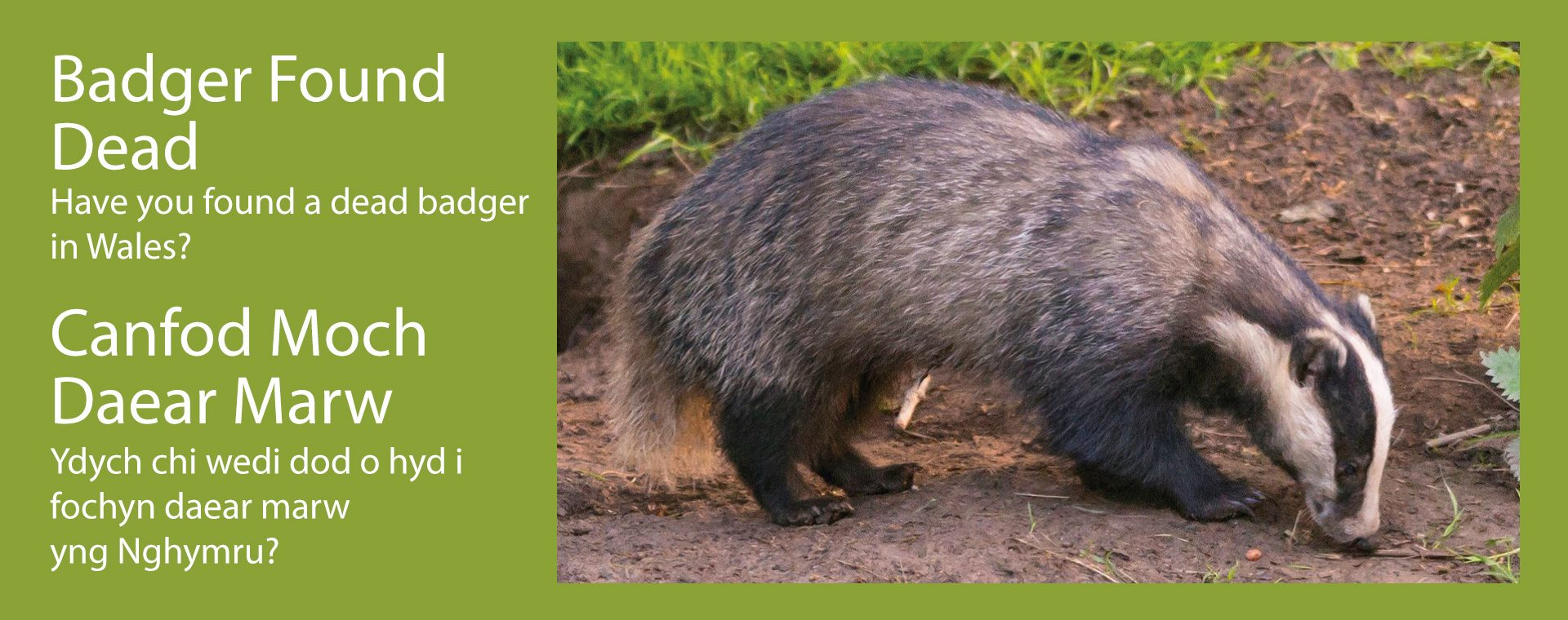 Badger found dead banner